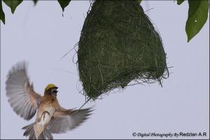 Baya Weaver at Nest