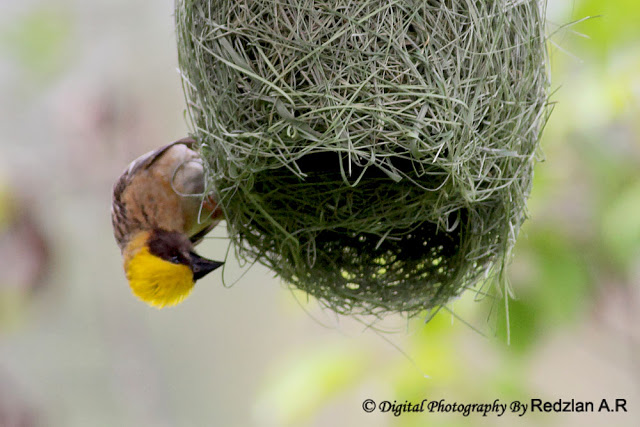 Male Baya Weaver at nest