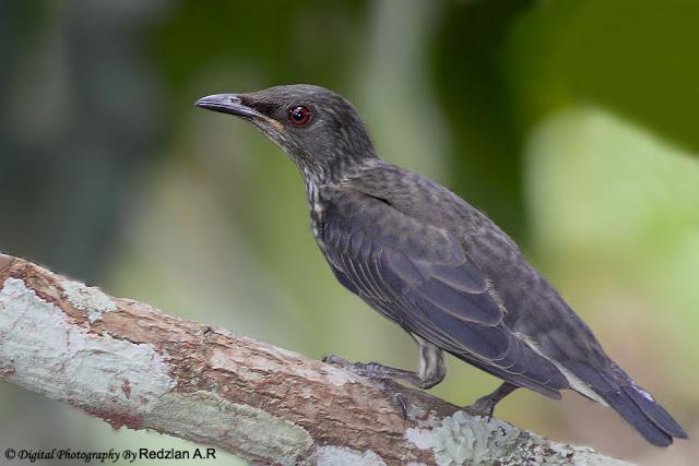 Juvenile Asian Glossy Starling