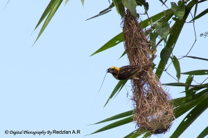 Baya Weaver destroying nest
