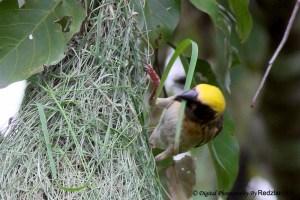 Baya Waver with nesting material