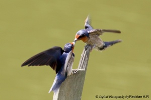 Pacific Swallow feeding