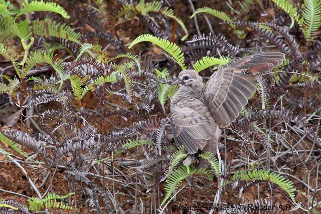 Fledgling Zebra Dove - Merbuk