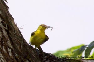 Common Iora with Nesting material