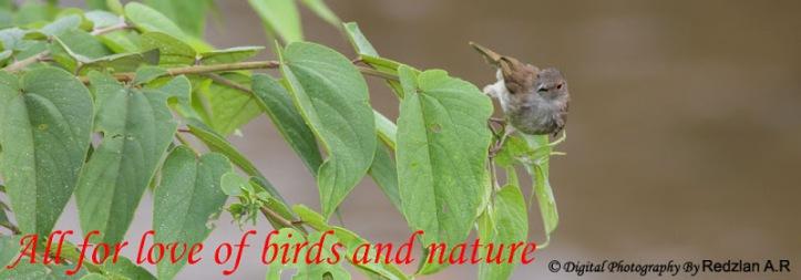 Spectacled Bulbul (Pycnonotus erythrophthalmos)