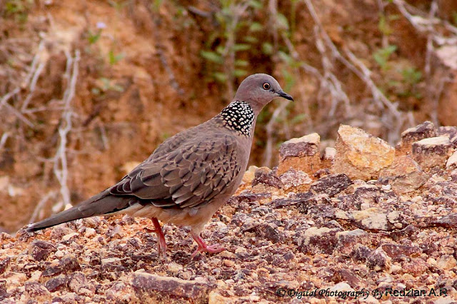 Tekukur, Spotted Dove (Streptopelia chinensis)