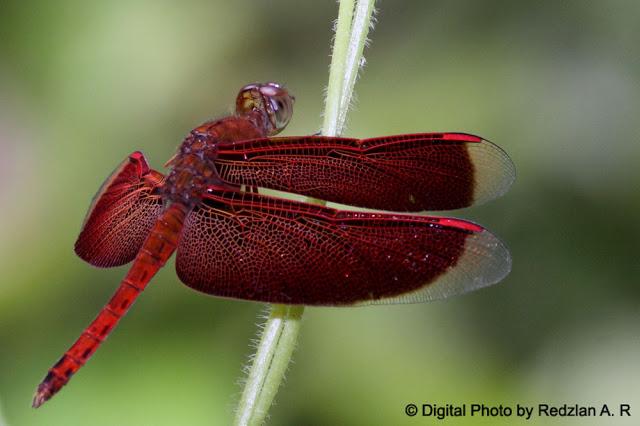 Dragonfly - Neurothemis fluctuans
