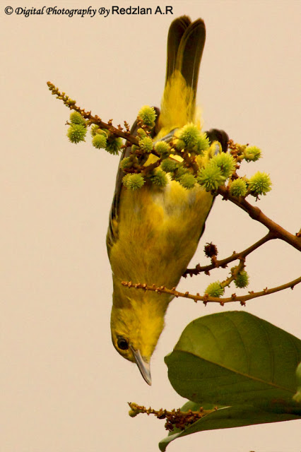 Common Iora hunting