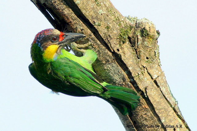 Gold-whiskered Barbet - My Favourite Bird at Favourite Perch