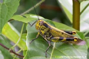 Belalang Kunyit - Valanga nigricornis