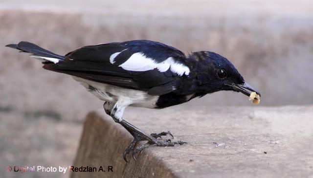 Juvenile Magpie Robin - Anak Murai