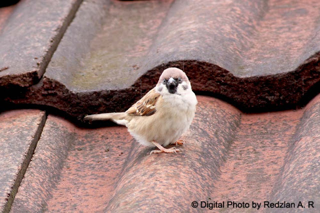 Tree Sparrow in rain