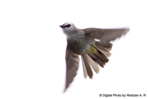 Yellow-vented Bulbul in action