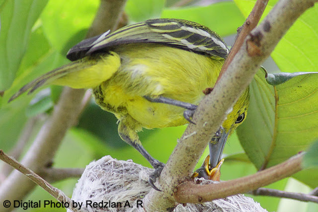 Common Iora with Chicks