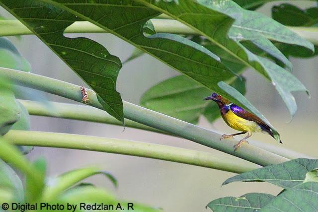 Sunbird and Grasshopper at Papaya tree