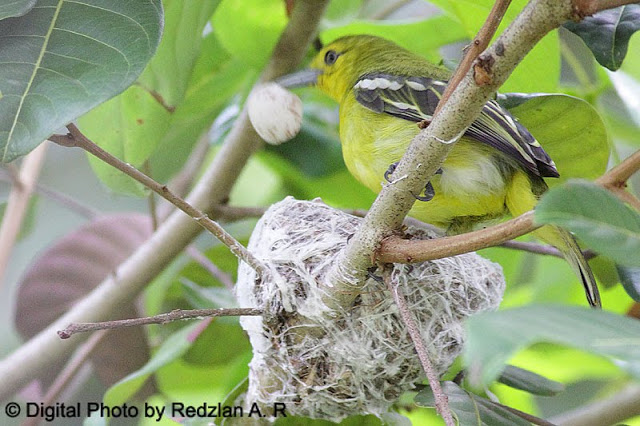 Female Iora with Egg Shell