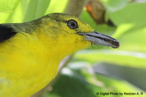 Common Iora with food