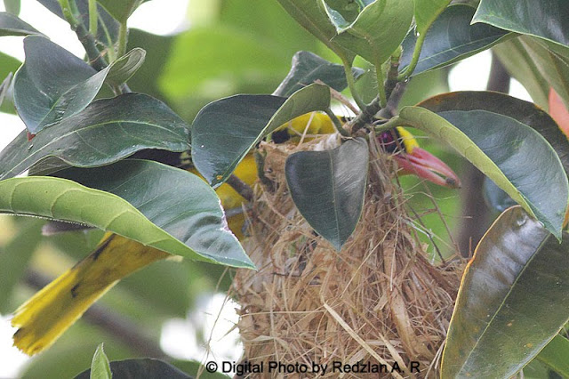 Male Black-naped Oriole with Food