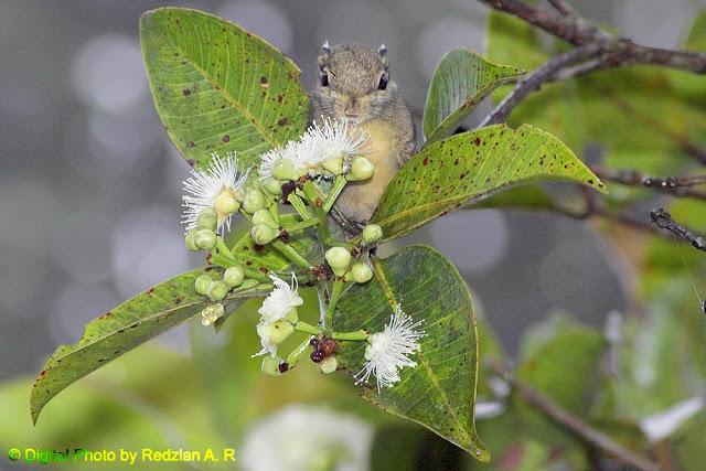 Himalayan Striped Squirrel (Tamiops macclellandi)