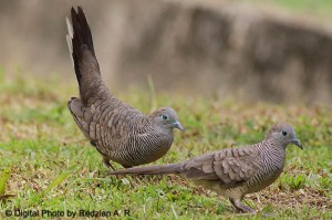 Peaceful Dove mating display