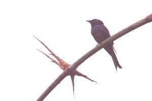 Lesser Racquet-tailed Drongo (Dicrurus remifer)