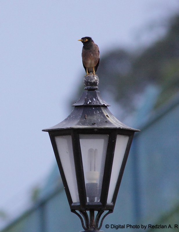 Common Myna at lamp post