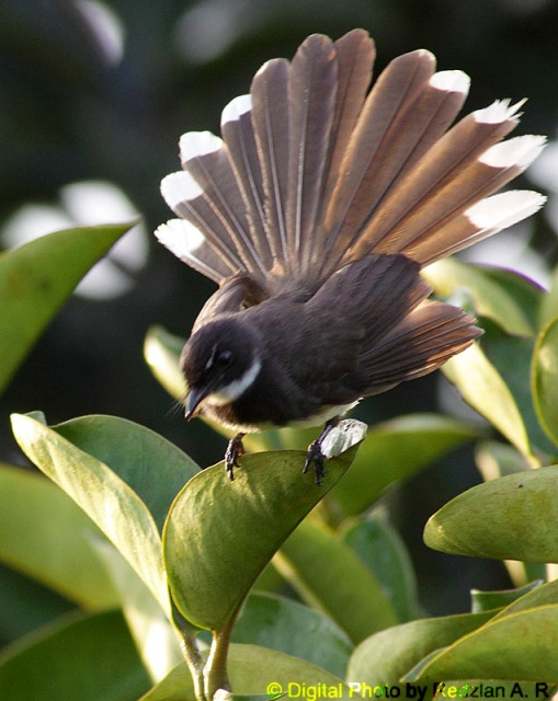 Pied Fan-tail at mangosteen tree