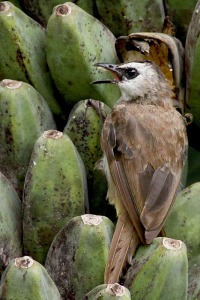 Ordinary bird and Banana