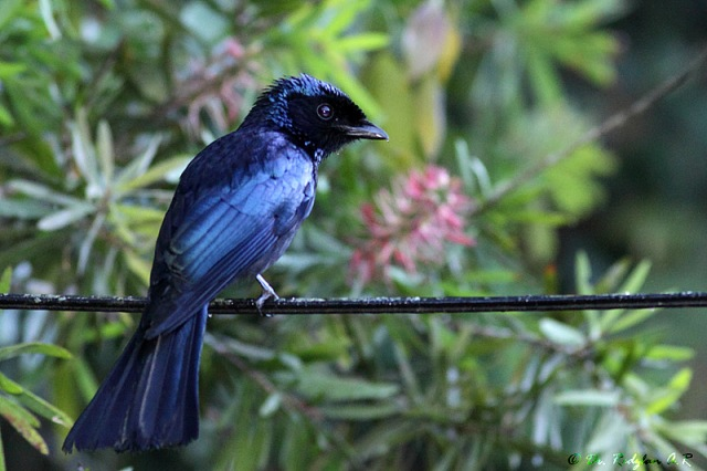 Lesser Racquet-tailed Drongo