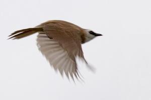 Yellow-vented Bulbul in flight