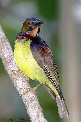 Brown Sunbird