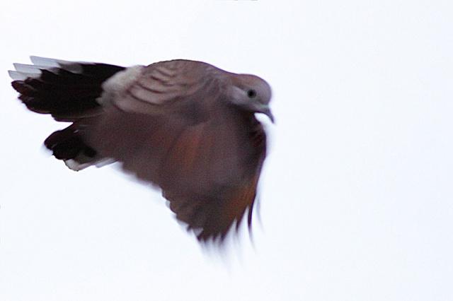 Zebra Dove in flight