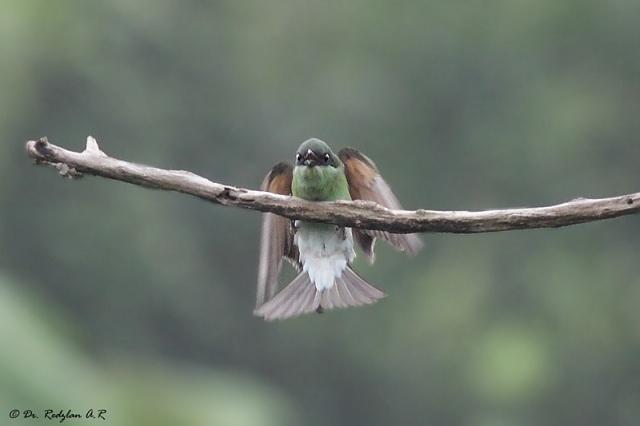 Blue-throated Bee-eater - Landing