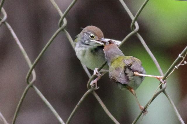Tailor bird feeding