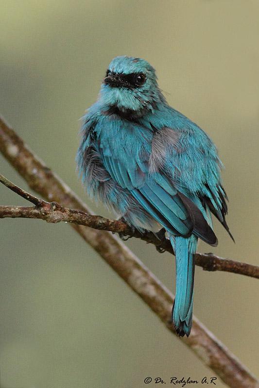 Blue Monday Bird -Flycatcher