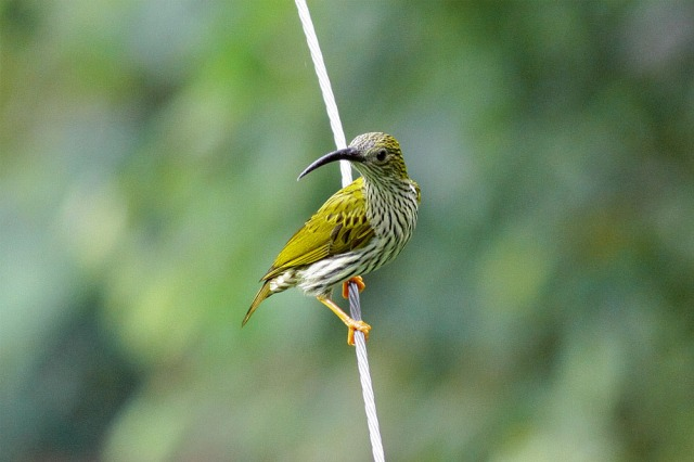 Streaked Spiderhunter resting at wire cable