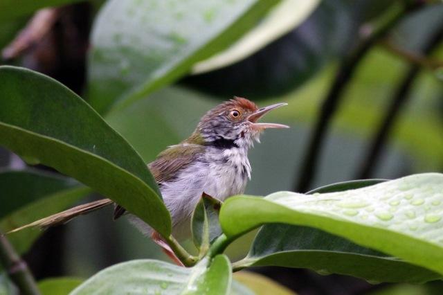 Hungry Tailorbird