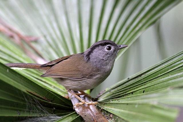 Birds of Fraser's Hill, Malaysia