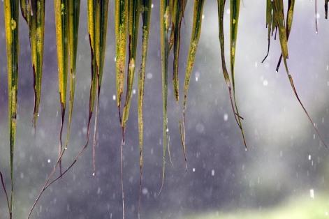 Coconut leaves in rain width=