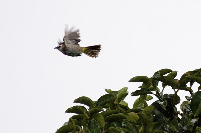 bulbul flew away from rain