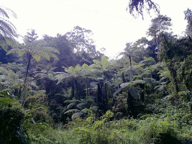 Giant Ferns at Fraser's Hill