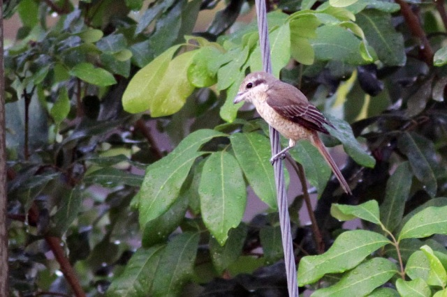 Finally Brown Shrike migrant birds perched at my backyard. Not a lifer but Brown Shrike