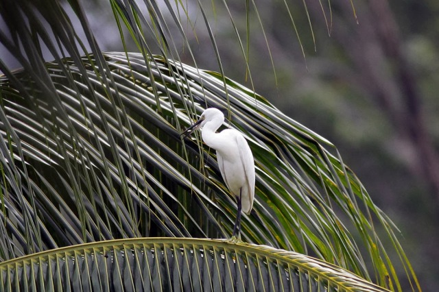 Finally migrant birds perched at my backyard. Not a lifer but Little Egret