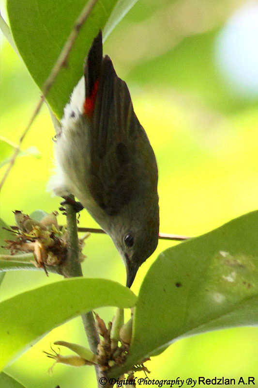 Scarlet-backed Flowerpecker female