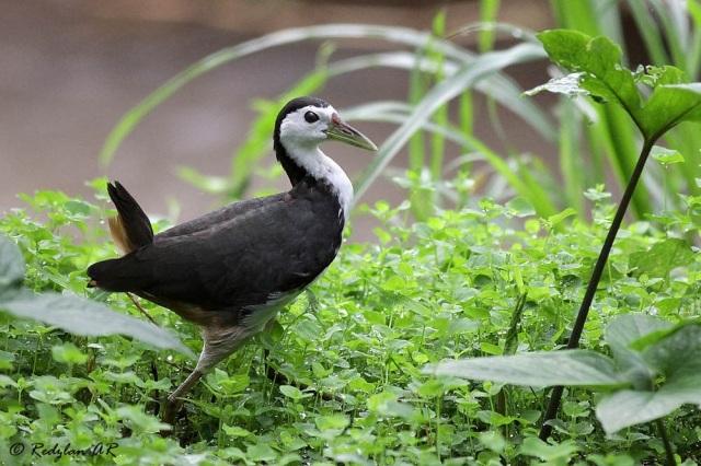 White-breasted Waterhen (Amaurornis phoenicurus)