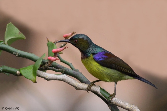 Male Brownthroated Sunbird sucking nectar at Zigzag flowers