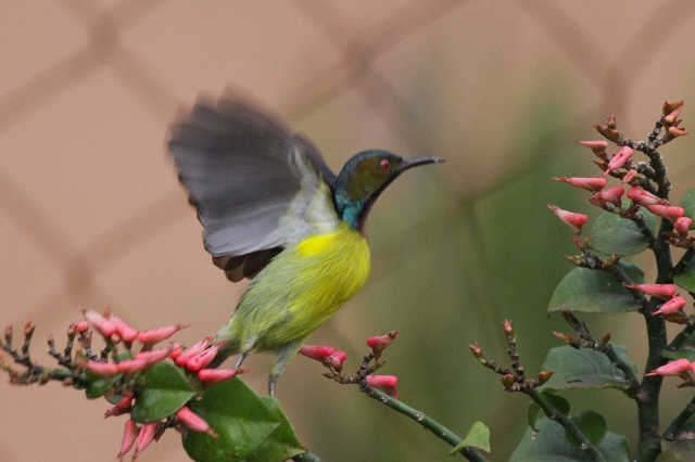 Birding during flood -Sunbird