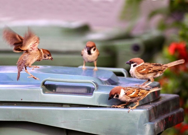 Flock of House Sparrow foraging at rubbish bin