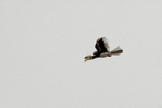 Pied Hornbill - male in flight