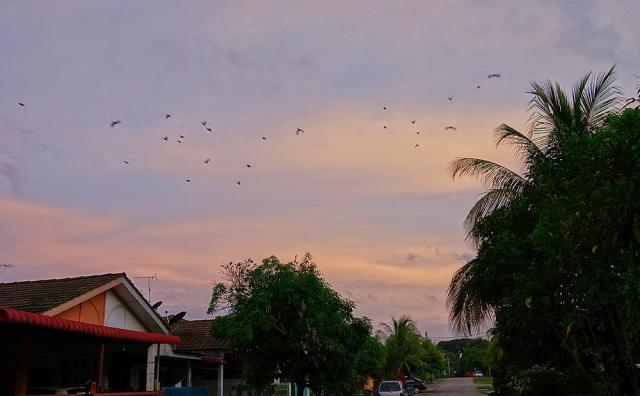 flock of flying bulbul in Malaysia